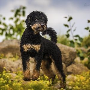 Hundefotografie Susannehelling Pudel