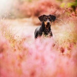 Hundefotografie Susannehelling Deutscher Pinscher