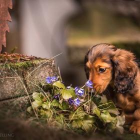 Hundefotografie Susannehelling Dackelwelpe