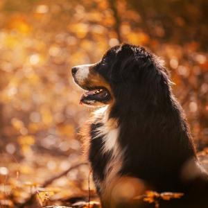 Hundefotografie Susannehelling Berner Sennenhund