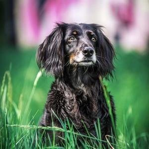 Hundefotografie Susannehelling Boder Collie Cocker