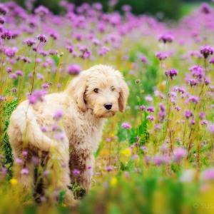 Hundefotografie Susannehelling Deutscher Bärenhund