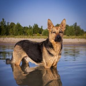 Hundefotografie Susannehelling Deutscher Schäferhund