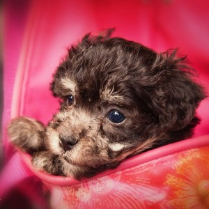 Hundefotografie Susannehelling Welpe