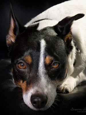 Hundefotografie Susannehelling Jack Russel