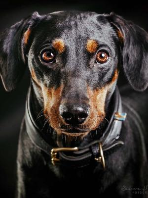 Hundefotografie Susannehelling Pinscher