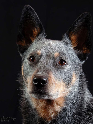 Hundefotografie Susannehelling Cattle dog