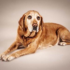 Hundefotografie Susannehelling Labrador