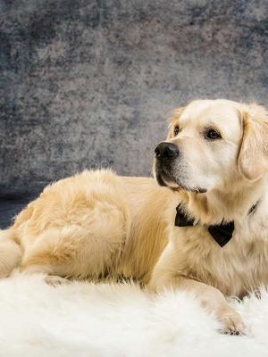 Hundefotografie Susannehelling Golden Retriever