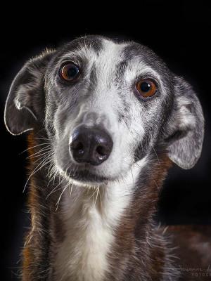 Hundefotografie Susannehelling Galgo