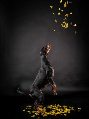 Susanne Helling Fotografie Hundefotografie Pinscher