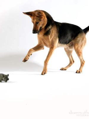 Hundefotografie Susannehelling Schäferhund
